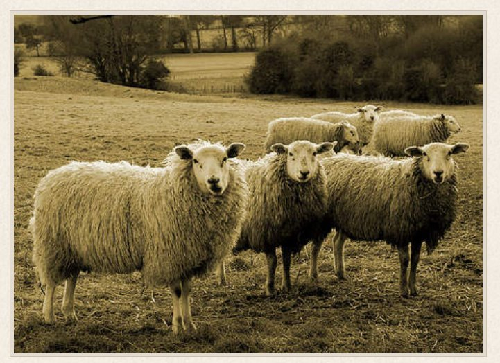 Sheep in English countyside